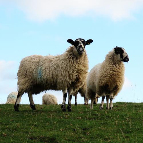 IMG 0465-sheep