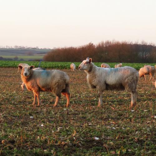 IMG 0620-sheep